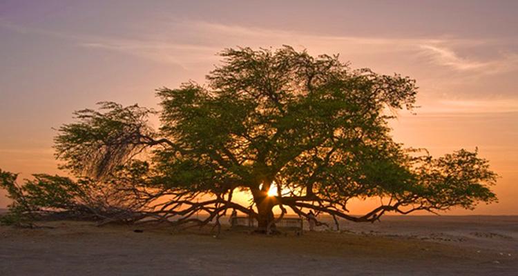 砂漠に生きる生命の木