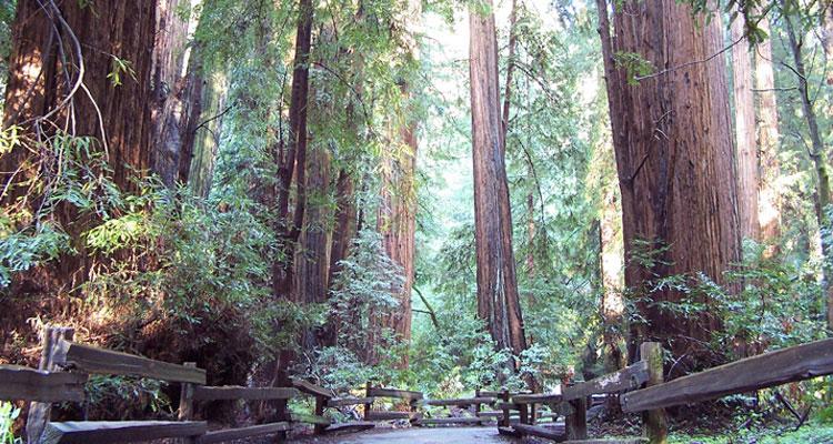 レッドウッドの大樹の森