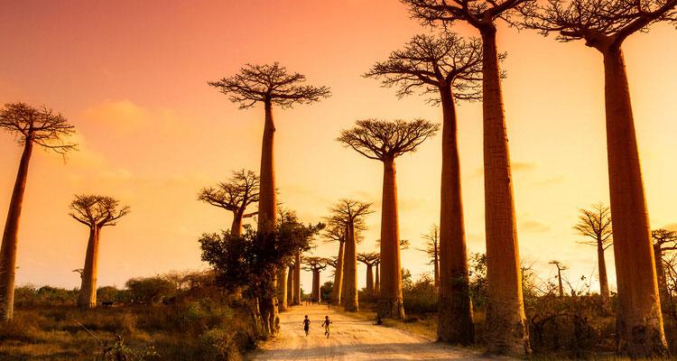 神秘の巨木バオバブ