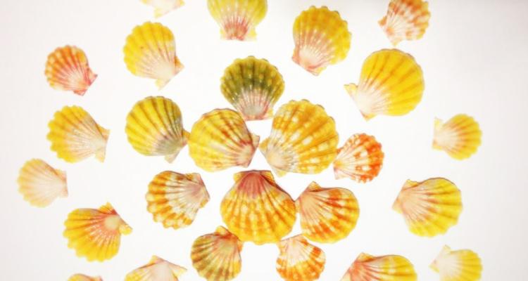 幸せの貝殻「サンライズシェル」探し